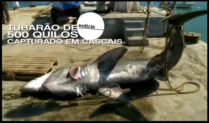 11656Tubarão de 500 quilos capturado em Cascais