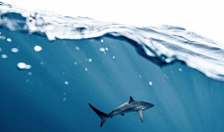 61726Avistamento de tubarões obriga à retirada de surfistas e  veraneantes da água na Figueira da Foz